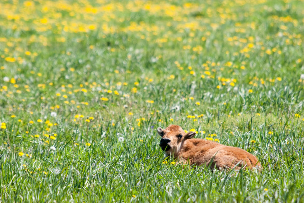 Bison calf laying in flowers in Yellowstone National Park