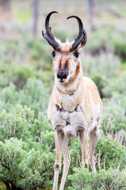 Pronghorn buck in Grand Teton National Park