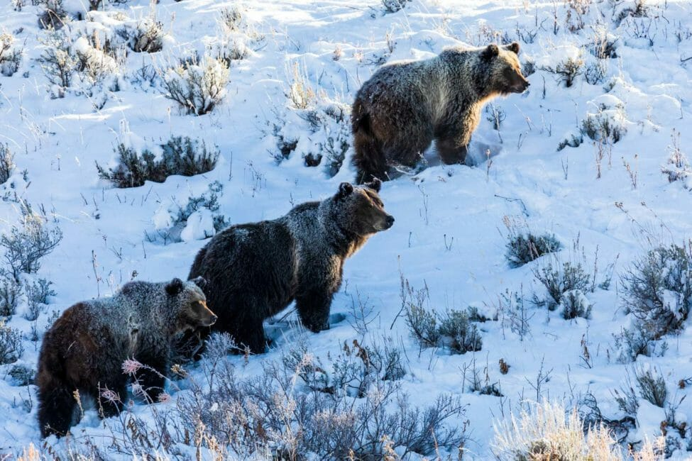Grizzly bears in snow in Jackson Hole
