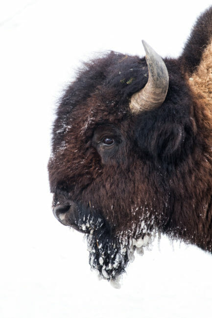 Bison with ice on his beard