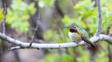 Broadtail hummingbird in Grand Teton National Park.