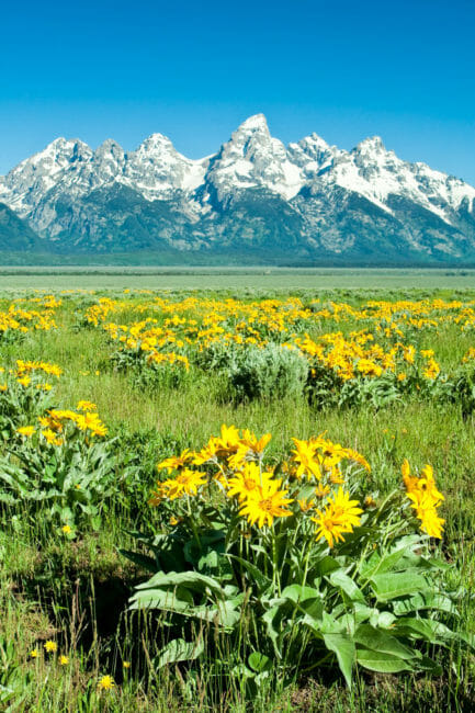 Wildflowers blooming in Jackson Hole
