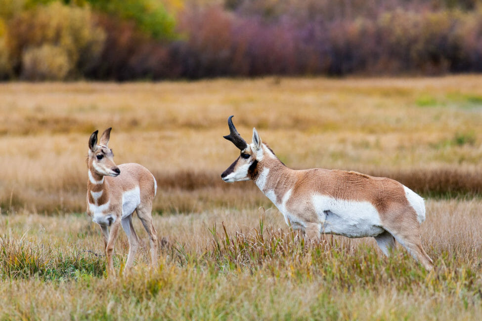 Pronghorn in Grand Teton National Park