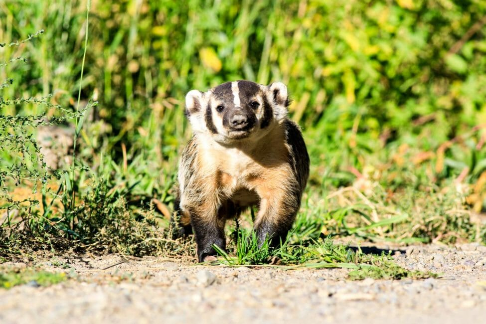American badger in Jackson Hole, Wyoming.