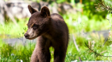 Black bear cub in Grand Teton National Park