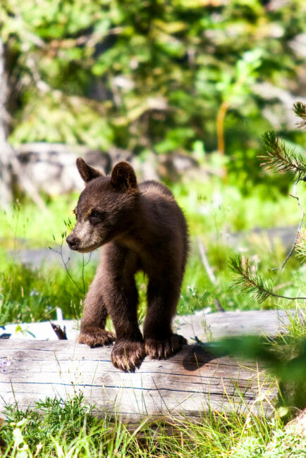 Black bear cub in Grand Teton National Park