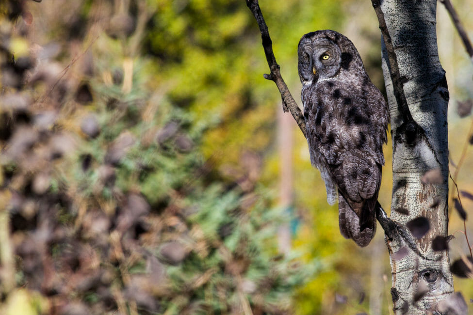 Great grey owl in Jackson Hole