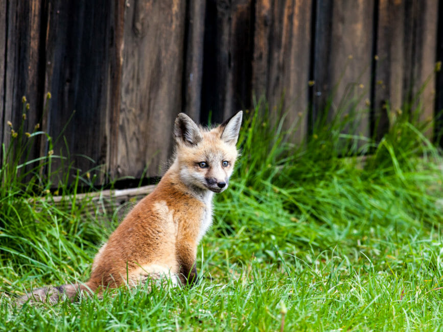 Fox kit in Grand Teton National Park