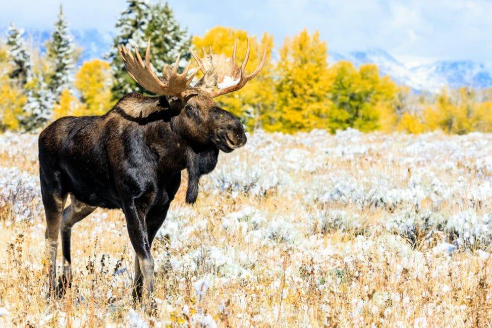 Bull Moose in fall colors in Grand Teton National Park