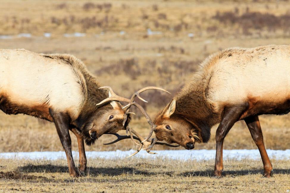 Bull Elk on the National Elk Refuge in Jackson Hole.