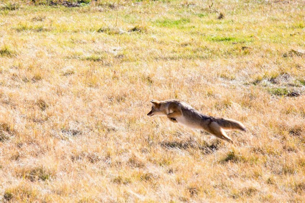 Coyote hunting for mice in a field