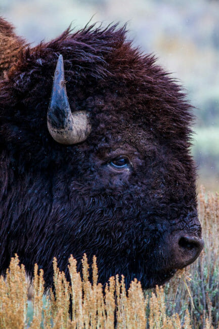Bull bison in Wyoming