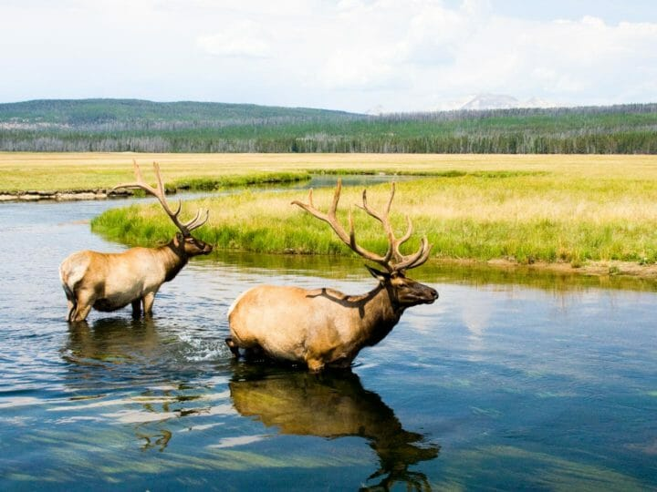 Two bull elk cool off in the Gibbon River