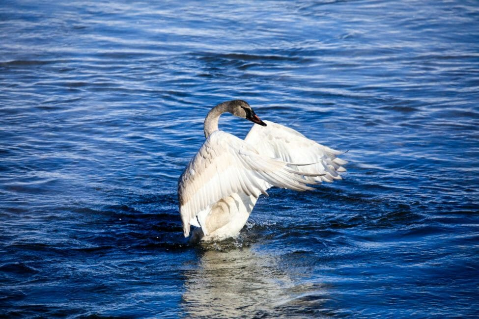 Trumpeter Swan in Jackson Hole