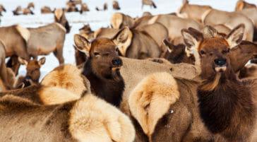 Elk herds national elk refuge jackson hole