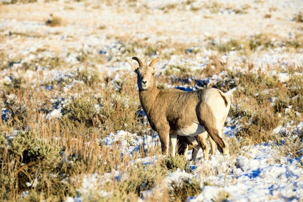 Female bighorn sheep National Elk Refuge