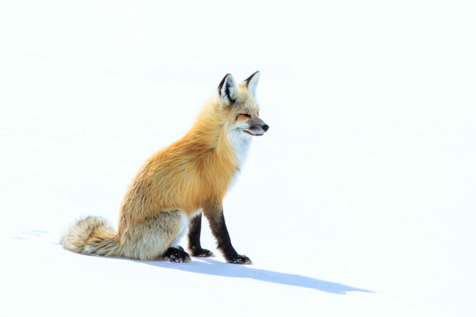 Red fox hunting a field