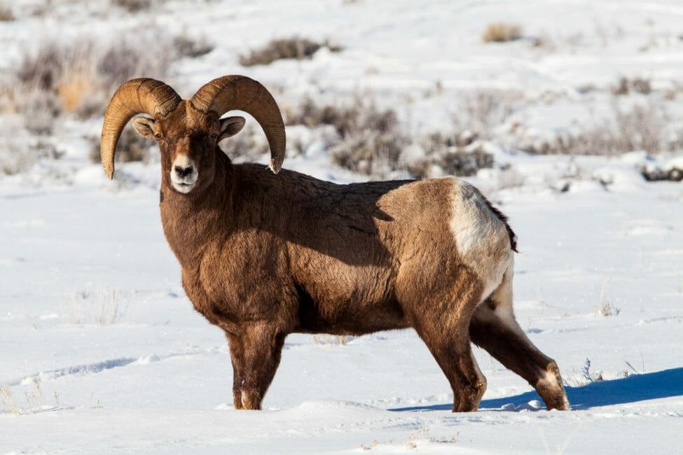 Bighorn Sheep Ram Jackson Hole