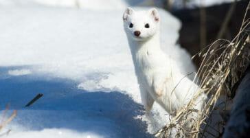 Weasel in winter Jackson Hole