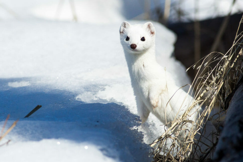 Weasel in winter Jackson Hole