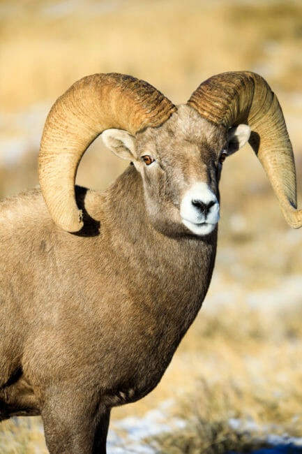 Bighorn sheep ram national elk refuge