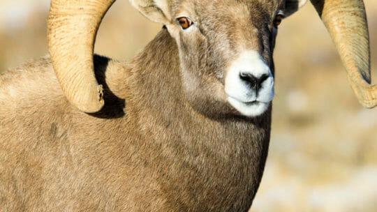 Bighorn sheep ram national elk refuge