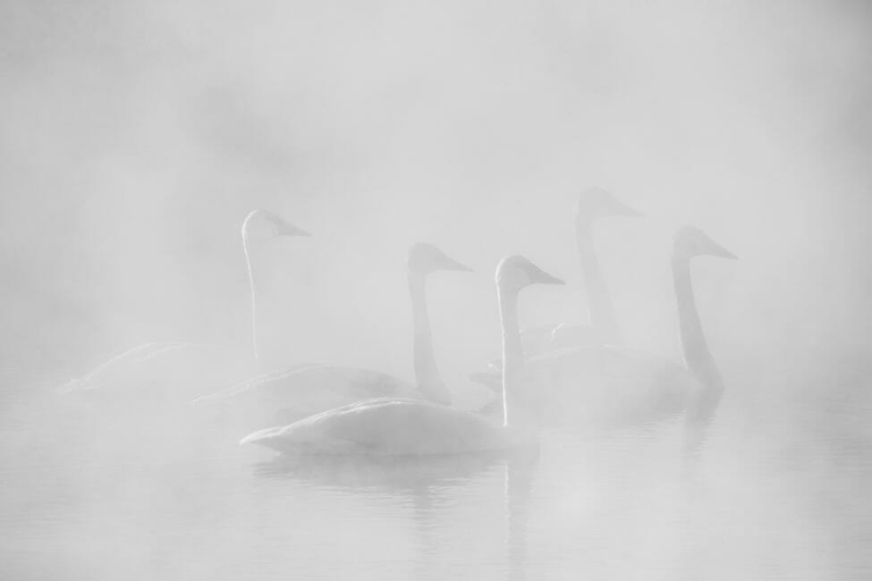 Trumpeter Swans in Jackson Hole Wyoming
