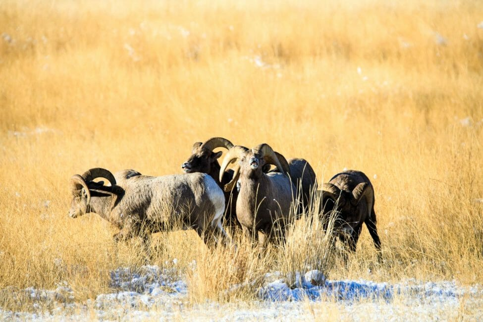 Bighorn sheep on the National Elk Refuge