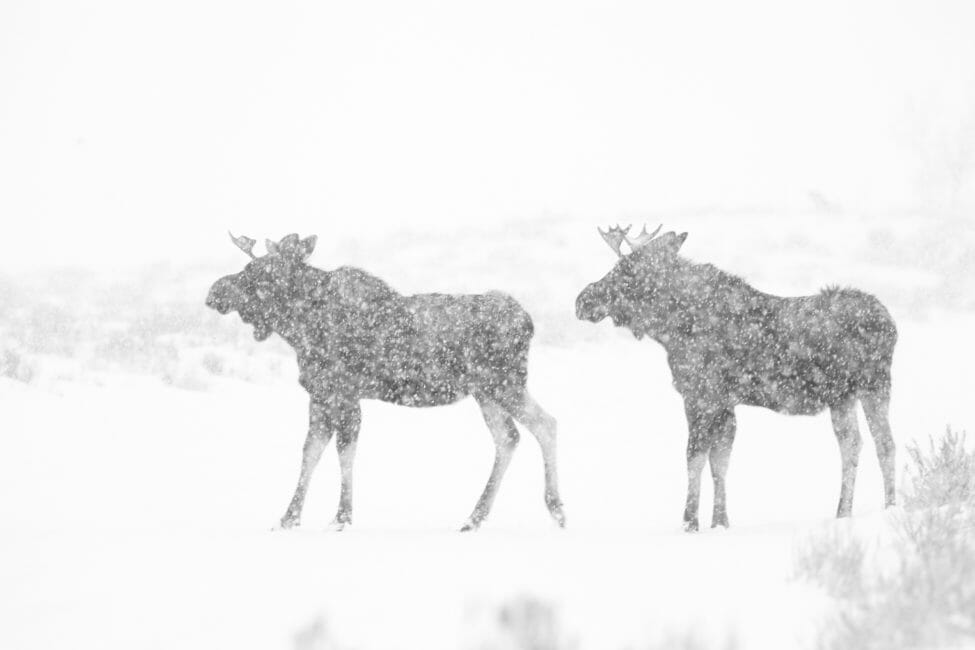 Bull moose in a snowstorm in Grand Teton National Park.