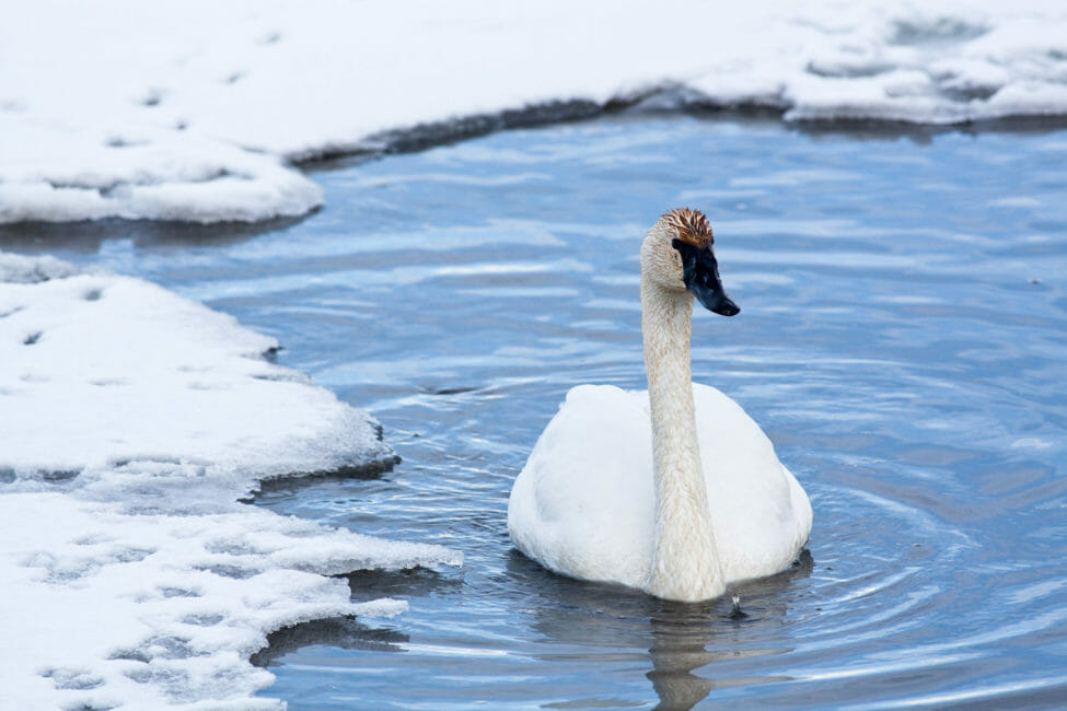 Trumpeter Swan on the National Elk Refuge Jackson Hole