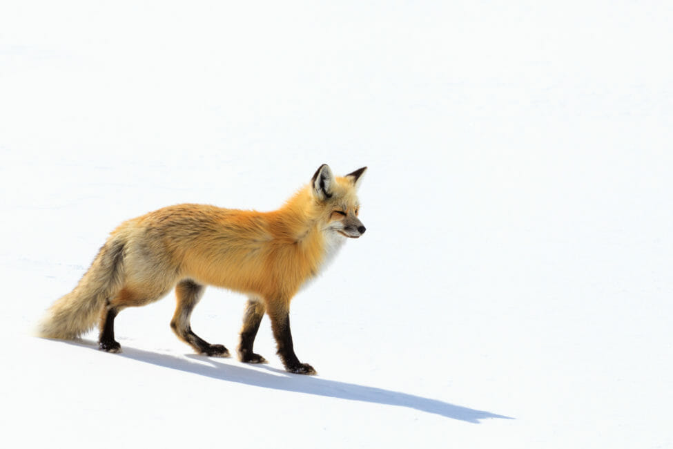 Red fox search for rodents under the snow