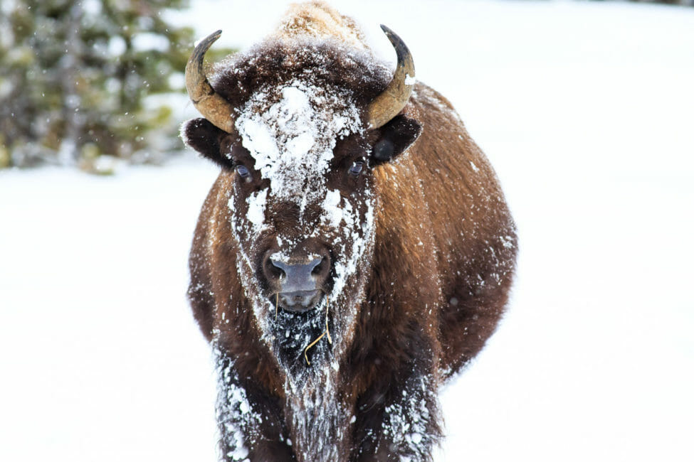 Bison winter on the National Elk Refuge in Jackson Hole