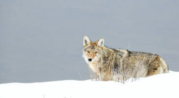 Coyote in Jackson Hole during winter
