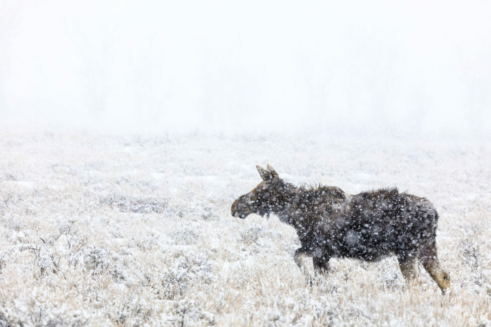 Moose in snow storm Jackson Hole