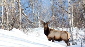 Bull elk wintering in Jackson Hole