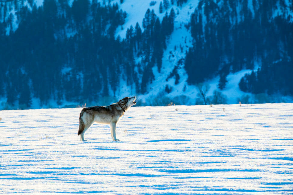 winter wolf howling at Grand Teton National Park
