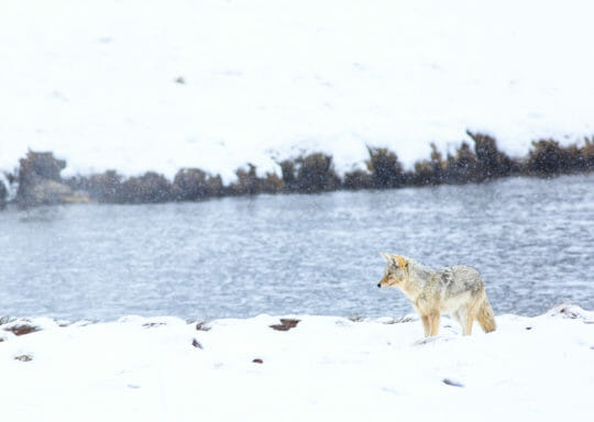 Coyote hunting along firehole river yellowstone
