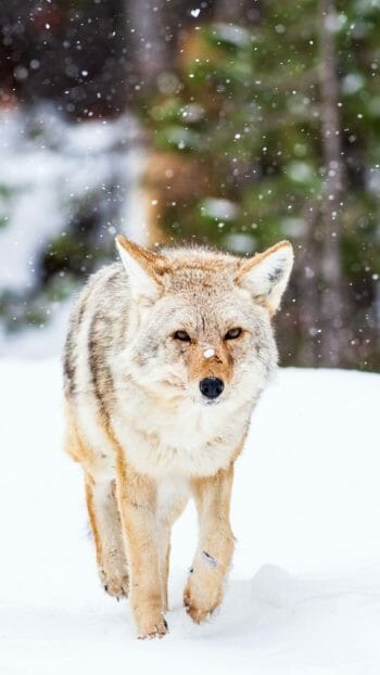 Coyote walking in Yellowstone National Park winter