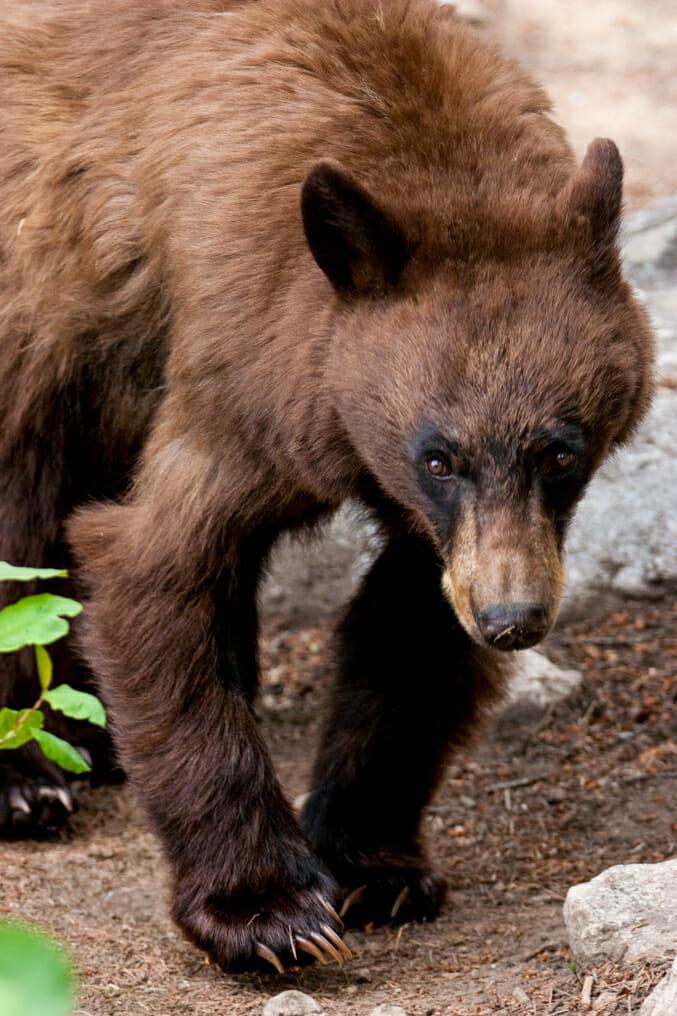 American Black Bear in Grand Teton National Park
