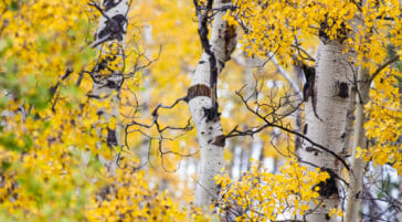 Fall colors in Jackson Hole