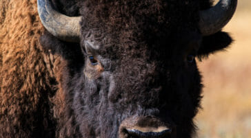 Bull bison in the Greater Yellowstone region