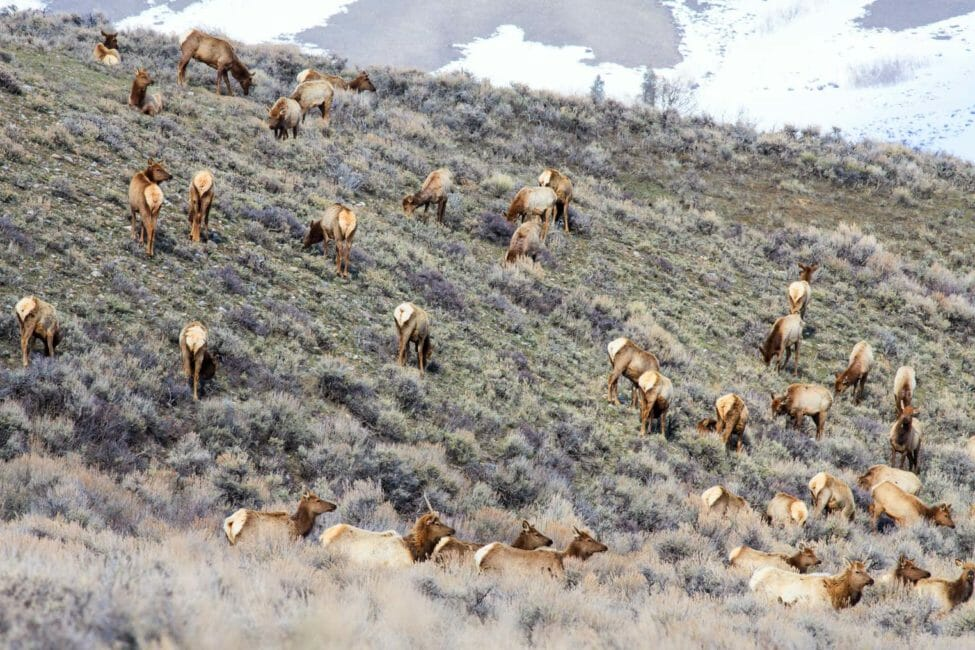 Fall elk migration in the Greater Yellowstone Ecosystem