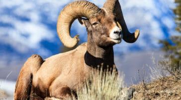 Bighorn sheep ram in Yellowstone National Park