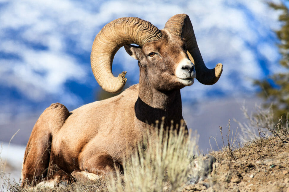 Bighorn sheep ram in Yellowstone National Park