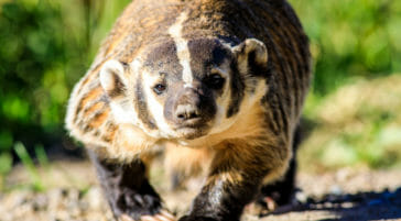 American Badger in Jackson Hole