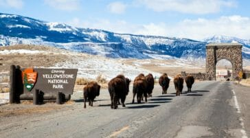 Bison at Roosevelt Arch Yellowstone National Park