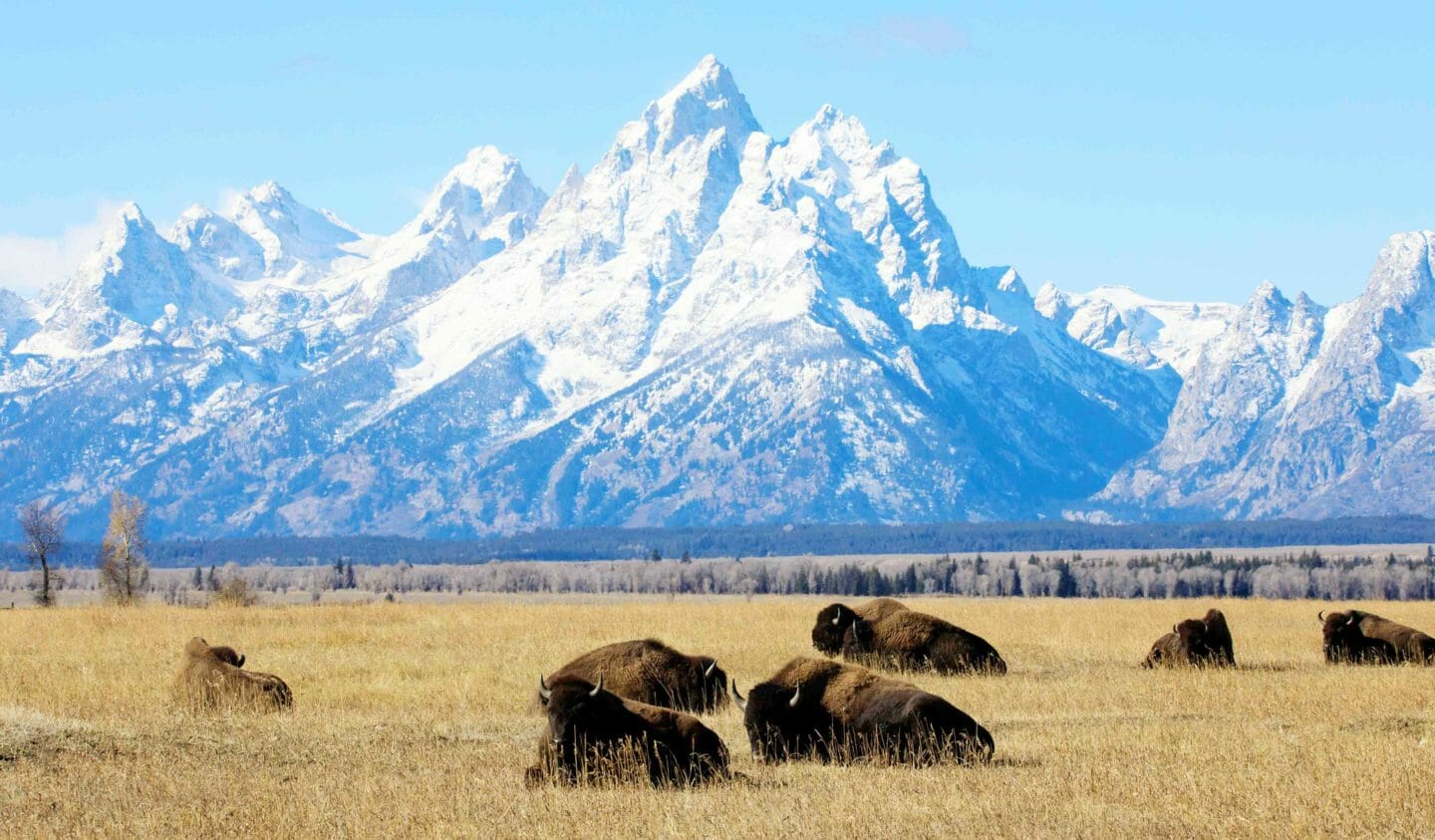 A Herd Of Bison Relax In An Old Ranching Field In Grand Teton National Park