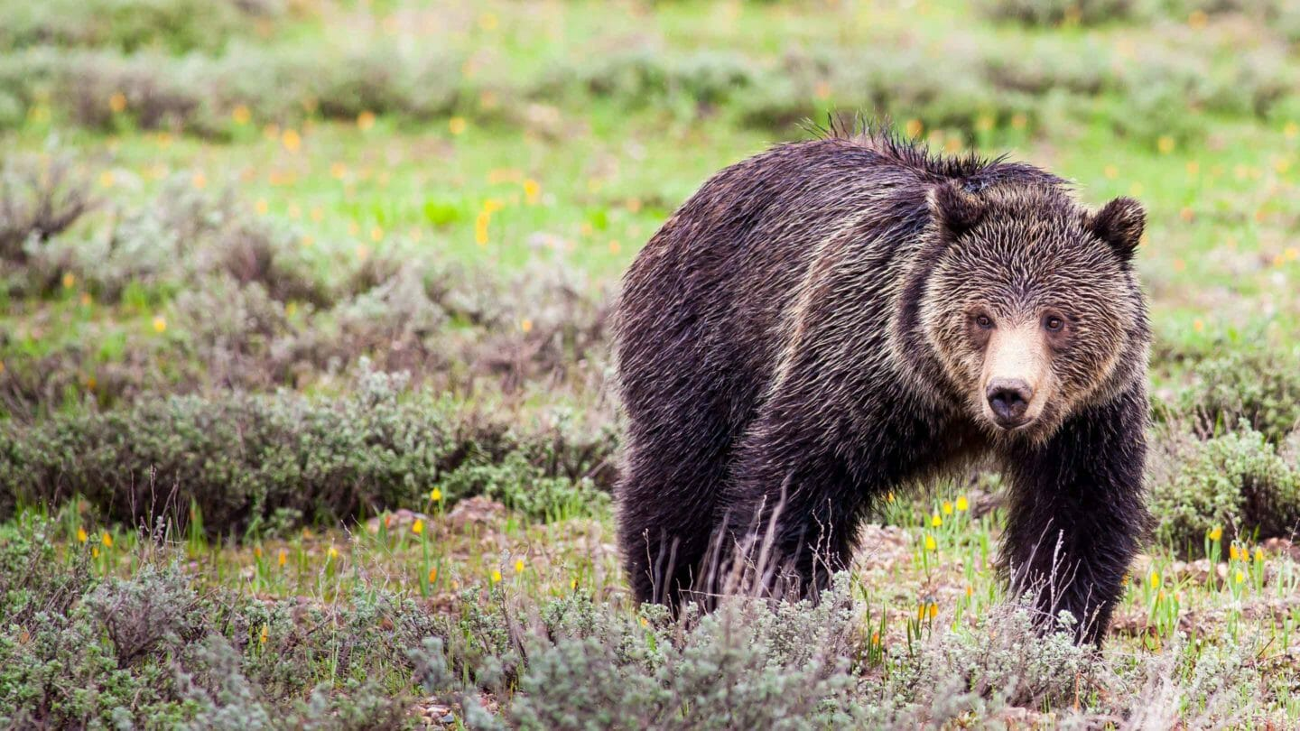 A Soaked Grizzly Bear Walks Through The Rain On A Spring Day In Grand Teton National Park