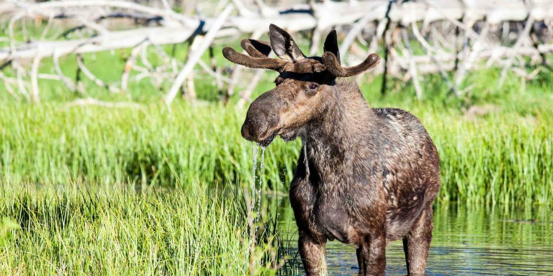 moose in pond Grand Teton National Park
