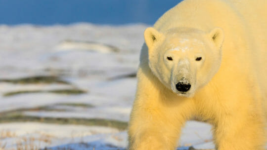close up photo of polar bear in Churchill Manitoba
